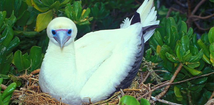 redfootbooby